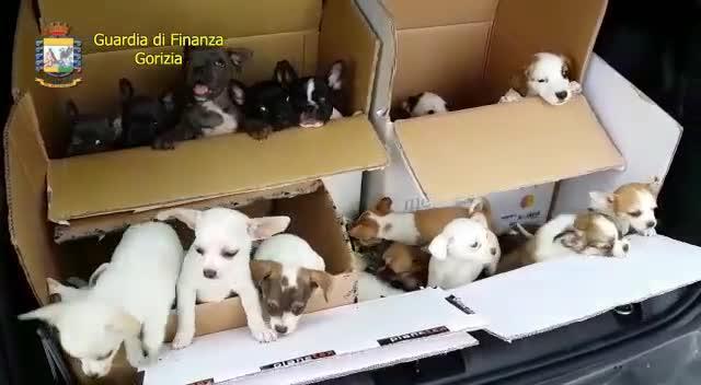 Importavano Cuccioli Dallest Due Polesani Nei Guai La Voce Di Rovigo