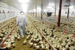Presentato l'impianto avicolo da 345mila polli