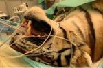 Operata con successo la tigre che vive al confine col polesine