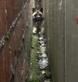 Sascia, il cagnolone rimasto incastrato tra due muri salvato dai pompieri