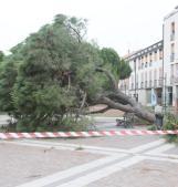 Piazza transennata per la caduta dell'enorme pino