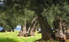 Lama degli Ulivi, l'ombelico del mondo...vegetale