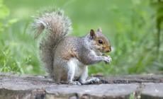 Alla scoperta dello scoiattolo grigio nel Delta