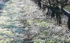 Temperature: crollo repentino, ghiacciano gli alberi da frutto in fiore