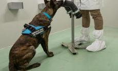 Ecco i tre cani addestrati per riconoscere l'odore del Covid