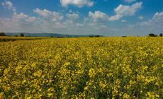 Lo spettacolo dei campi di colza