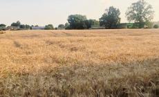 """L'allarme lanciato dai produttori: """"Il grano Canadese ha invaso l'Italia!"""""""