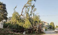 Il cedro caduto crea forti disagi