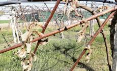 Temperature sotto zero, danni alle colture