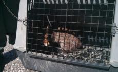 Teneva una volpe legata alla catena <br/> denunciato cacciatore di Occhiobello