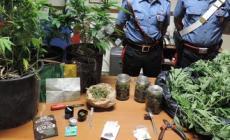 """Studente di agraria """"fuori corso"""" <br/> coltivava piante di marjuana, arrestato"""