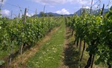 Ladre di uva e ortaggi nei campi