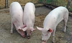 Un allevamento da ben 13mila maiali<br/>e la cittadinanza contesta il progetto