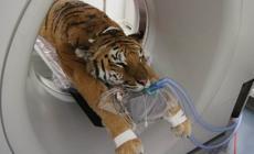 Tigre del Bengala in ospedale <br/> e il Circo di Praga diserta Rovigo