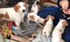 """I cinque cuccioli """"liberati"""" a Lusia <br/> si possono adottare al Rifugio"""