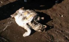 Una tartaruga trovata morta sulla spiaggia di Caleri