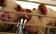 """Nasce un Comitato contro gli """"odori"""" della porcilaia"""
