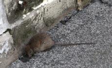 Dopo la grande pioggia, la città si riempie di ratti
