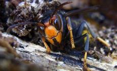 Invasione dei calabroni asiatici, apicoltori polesani in allarme