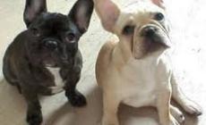 Traffico di cuccioli: niente microchip e passaporti falsi
