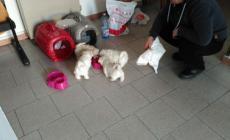 Traffico di cuccioli, la polizia salva 4 pastori maltesi