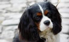 Cucciolo aggredito da un cane senza guinzaglio