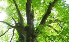 """""""Questo taglio non s'ha da fare"""", l'opposizione difende gli alberi secolari"""