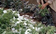 Il gelo ha fatto strage nei campi