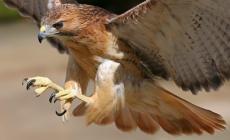 Falchi in agguato contro i piccioni, la misura innovativa della Provincia