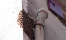 Sciame d'api invade piazza Garibaldi, paura