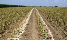 I ladri direttamente sul campo: rubate 10 tonnellate di aglio