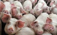 Il Comitato contro l'allevamento: dalla porcilaia odori nauseabondi