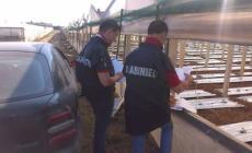 Lavoro nero nei campi di aglio, azienda nei guai