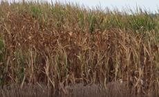 Campi di mais assetati, è allarme