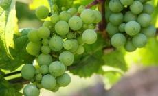 Meno uva, ma un vino eccezionale