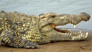 """Una soluzione alle nutrie? """"Importiamo i coccodrilli"""""""