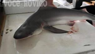 Nel nostro mare ci sono gli squali