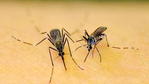 Si è diffusa anche da noi la zanzara koreana, ed è pericolosa