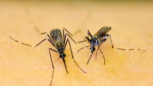 La zanzara coreana sta colonizzando tutto il veneto