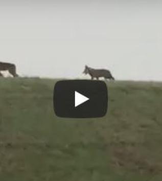 Sette giovani lupi ripresi nel Parco del Delta