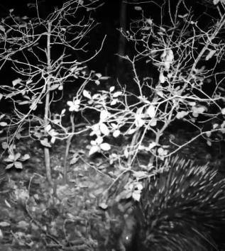 La videoscoperta: l'istrice torna a popolare il Bosco