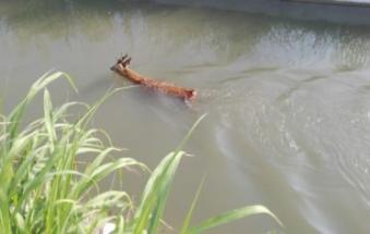 I Vigili del fuoco salvano due caprioli in pericolo nel canale