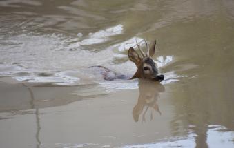 Nuotatina e fuga in strada per il capriolo di Lendinara