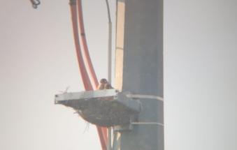 Nati due piccoli falchi nel nido artificiale realizzato dai tecnici delle linee elettriche