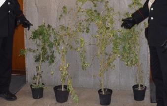 In camera da letto aveva 14 piante di marijuana. Denunciato