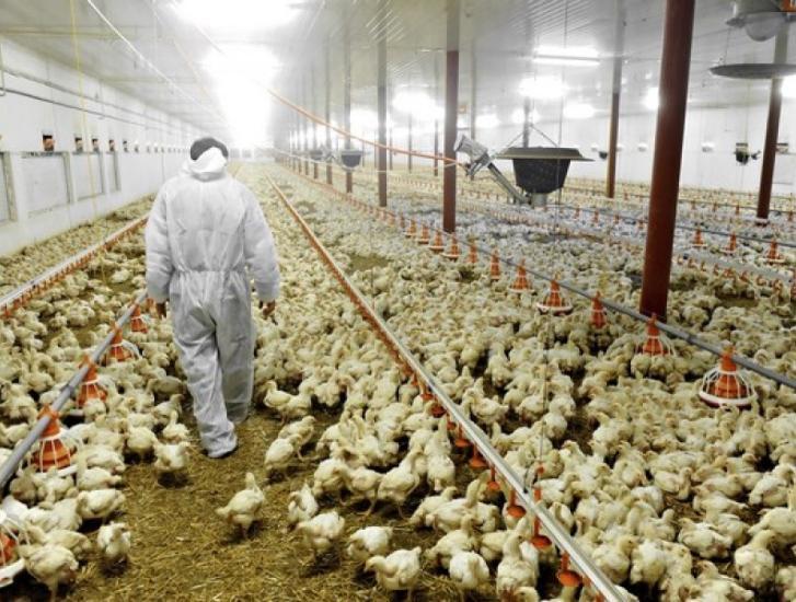"""""""In arrivo un allevamento da 300mila polli"""""""