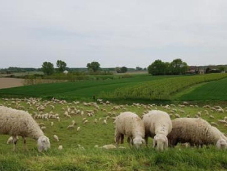 Tre pecore cadono nell'Adige, salvate dai pompieri