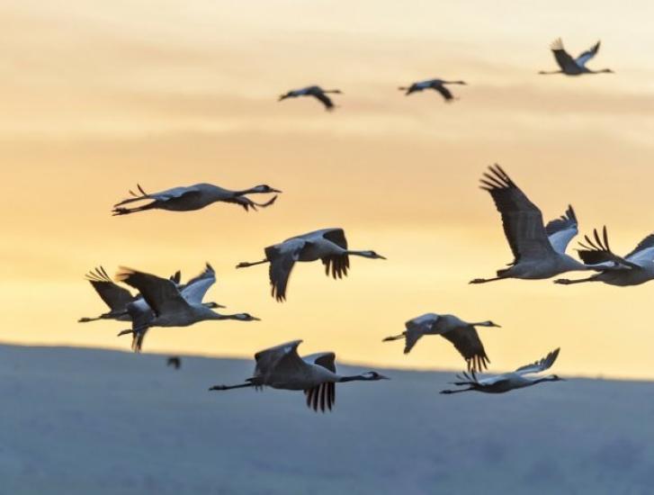 Lo spettacolo della migrazione delle Gru sopra la costa veneta
