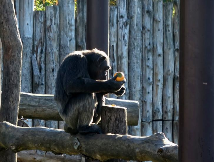 La triste notizia: è morta Judy, la scimpanzé più vecchia d'Europa