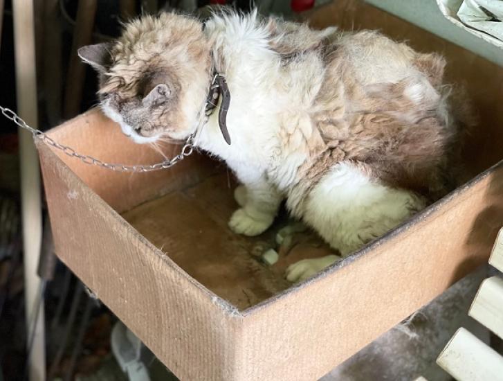 Sequestrata dalle guardie zoofile dell'Oipa una gatta maltrattata e legata a catena